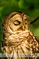 Barred Owl: Winner of 2014 Nature's Best Backyard Photo Contest